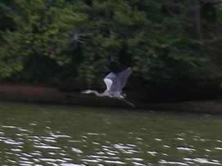 blue-heron-in-flight.jpg