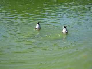 c-ducks.jpg